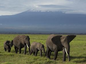 elephant-herd-kilimanjaro